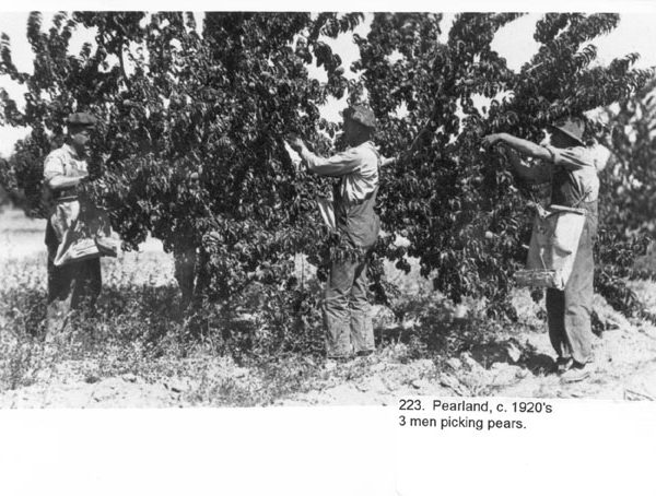 Pear picking in Littlerock