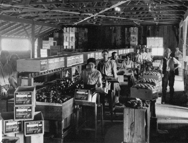 Interior of a pear packing shed