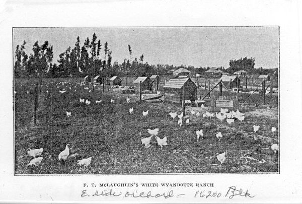 F. T. McLaughlin's white Wyandotte chicken ranch in Gardena