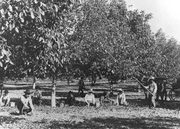 Walnut harvest in La Puente Valley, early 1900s