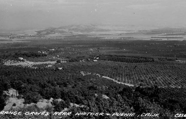 Orange groves near Whittier and La Puente