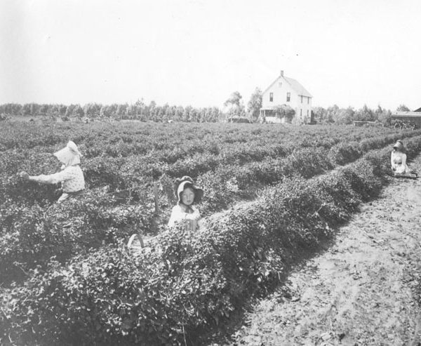 Women and children picking berries on 161st Street in Gardena