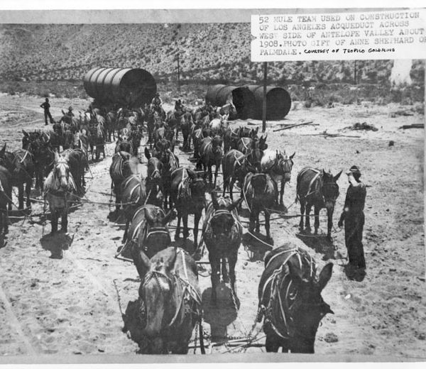 52-Mule team used in the construction of the Los Angeles-Owens Valley Aqueduct across the west side of the Antelope Valley, 1908